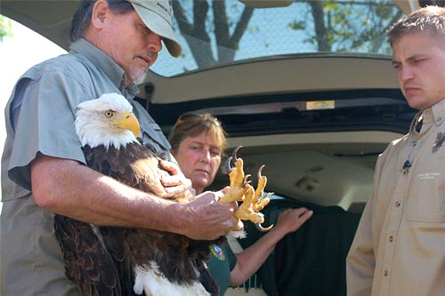 Al Cecere, founder and president of the American Eagle Foundation, wrestles with Tiny, a mature Bald Eagle who was released back into the wild on Friday. Watching is Karen Wilbur, the foundation's assistant operations manager. Photo by Bob Fowler