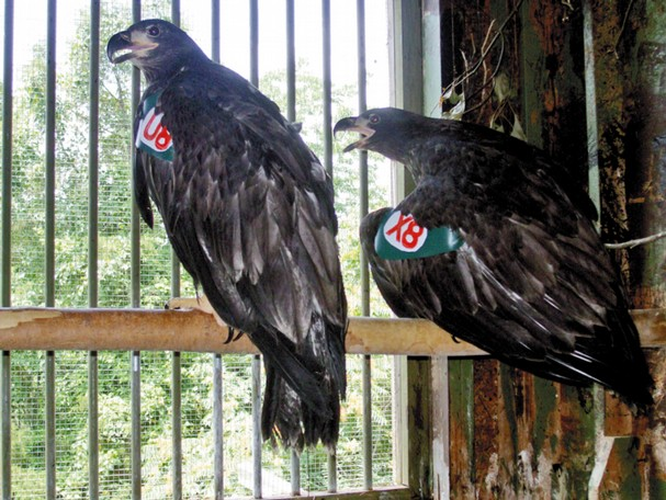 Young eaglets are ready to fly free.
