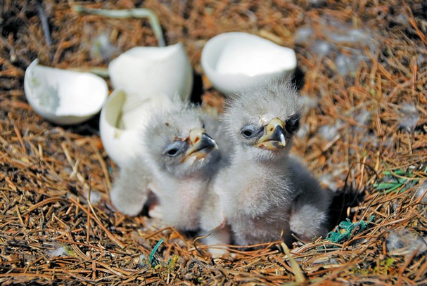 Two baby eaglets