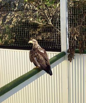 Rescued eagle