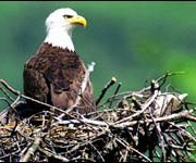 Bald Eagle removed from Endanged Species