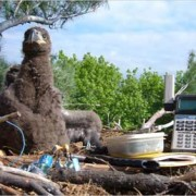 Eaglets in nest are being studied for mercury levels