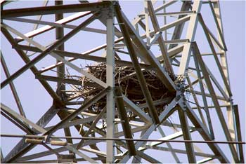 A power-line nest in Winter Springs, Florida Chris Livingston for the New York Times