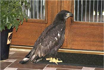A fledgling raptor found a door stoop in Tarpon Springs, Fla. Courtesy of Patti Schuman