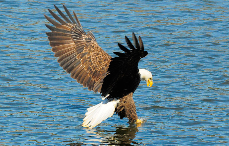 Bald eagle to be removed from the endangered species list.