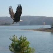 Bald Eagle flies free