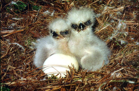 Baby eaglets