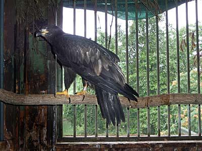 Bald Eagle 'Patriot'