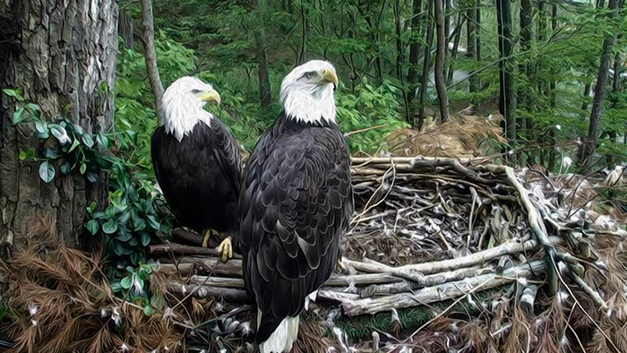 Franklin and Independence on their nest at Eagle Mountain Sanctuary Dollywood Park, Pigeon Forge, TN