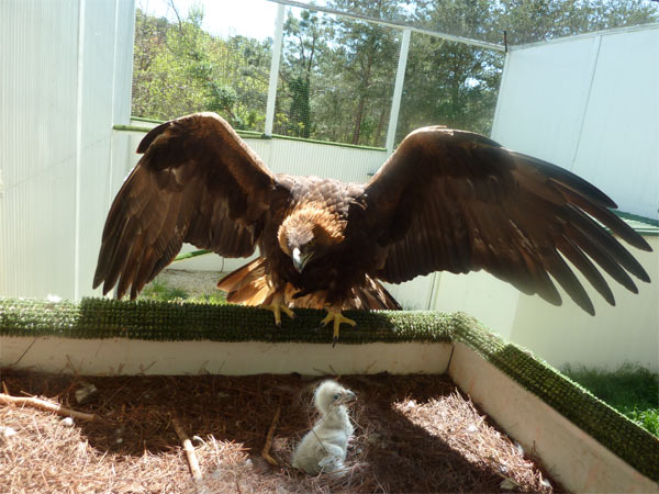 A Bald Eaglet from an egg also laid by Esther and Isaiah was fostered by our Golden Eagles, Wankan Tankan & Cheyenne.