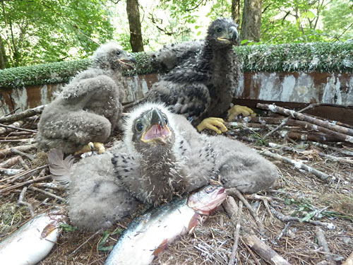 Eaglets at 5 - 6 weeks of age