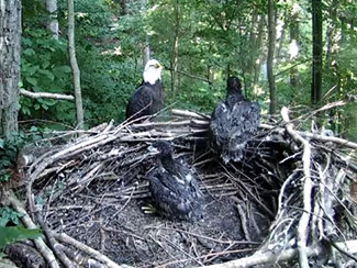 June 12 - One day shy of 6 weeks old, an eaglet born May 2 now peers over the side of the nest.