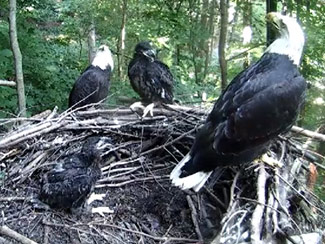 June 12 - 41 days old, the eaglet sits boldly on the side of the nest.