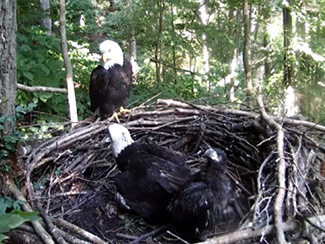 June 14 - Our eagle family - Indy, Frank, and the Twins. Sunlight dapples the trees, the nest, and the eagles.