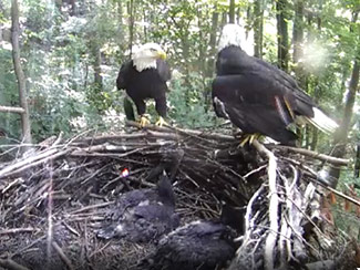 June 15 - Their last day all together. Indy and Frank have given these babies a great start. Now the eaglets must learn to be wild.