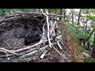 June 15: Indy and Frank have left the nest, as AEF staff approach the nest to gather up the babies.