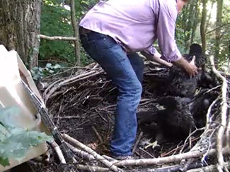 June 15 - Al Cecere, president of the AEF, carefully removes first eaglet from nest.