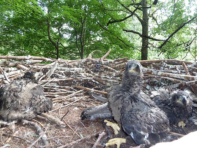 Eaglets are doing well.
