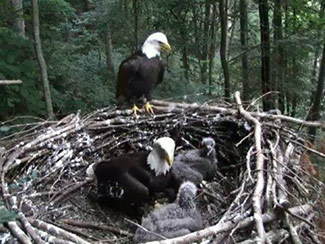 Our eagle family. Frank perched, Indy in nest with twins.