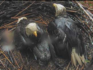 Both parents shelter babies from rain.