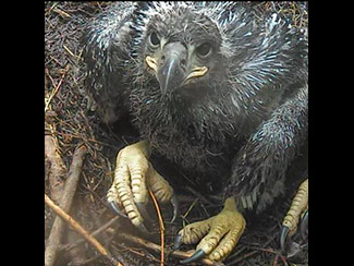 June 3 - Where's my dinner? I'm a growing eaglet!