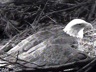 March 31, 2013 - Keeping the eggs warm with her brood patch, Indy will protect them from harm.