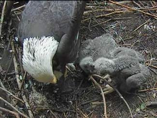 May 24 - Eaglets tug over stick.