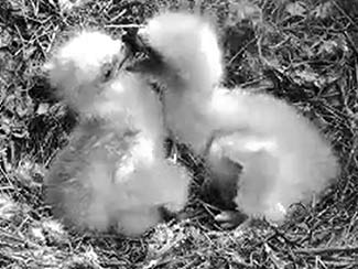 Two little eaglets - one day old - the bobble-head bonk.