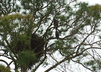Both eaglets perched in nest tree. Photo by Tatine Rehm