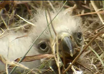 Baby eaglet nestled in the deep nest bowl.