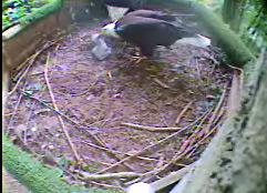 Baby eaglet.