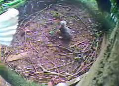 3-week-old eaglet
