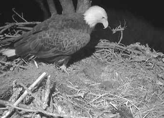 Juliet watches over her baby eaglets.