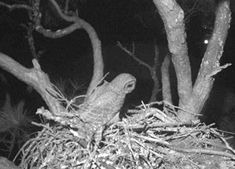 Our infrared cam revealed an owl looking things over. It's not your nest, Mr. Owl!