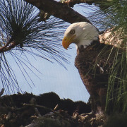 A Florida Bald Eagle
