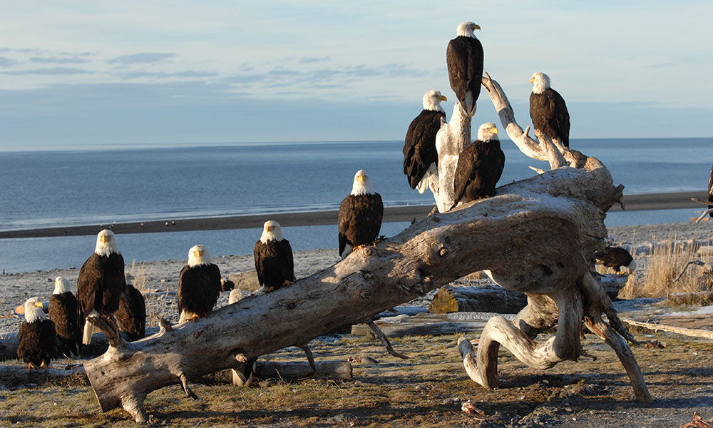 Eagles in Homer, Alaska
