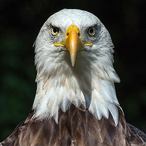 eagle eyes for adults american eagle foundation