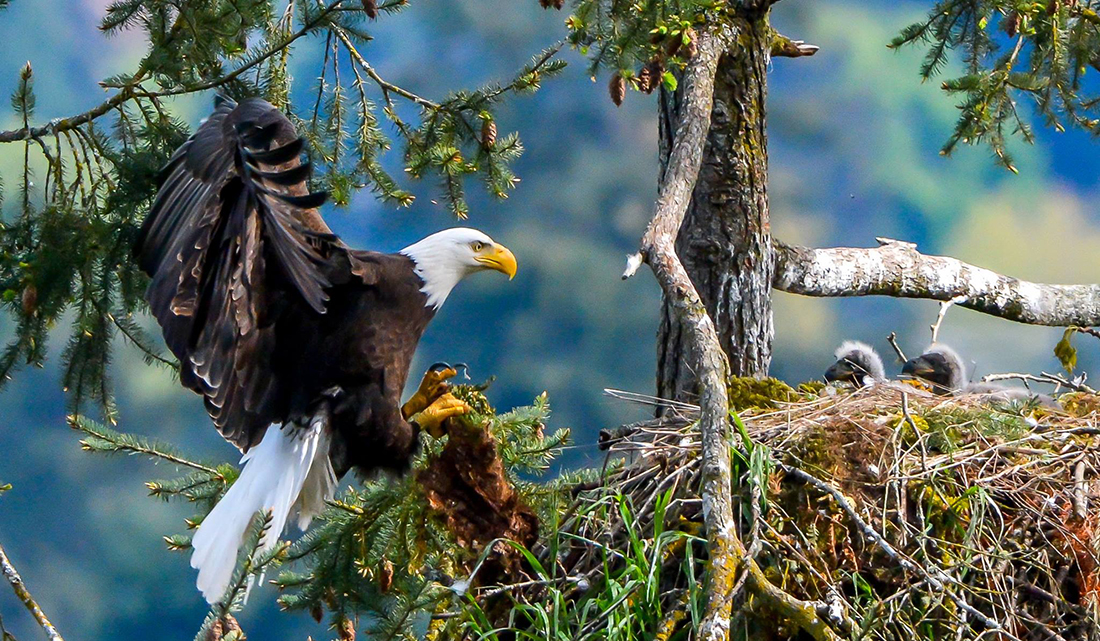 Eagle Family © Scott Kelly, Wild4Photos.com