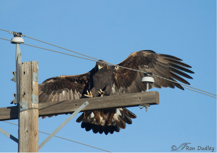 Electrocution is a major danger to Golden Eagles