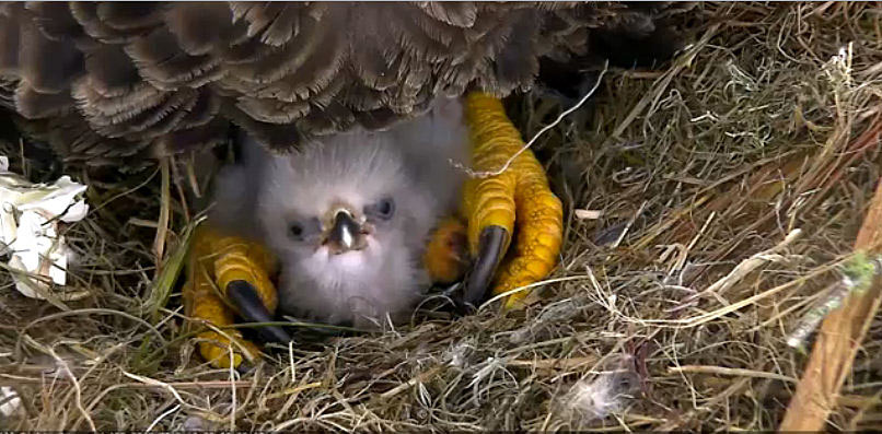 A baby eaglet is protected by its parent.