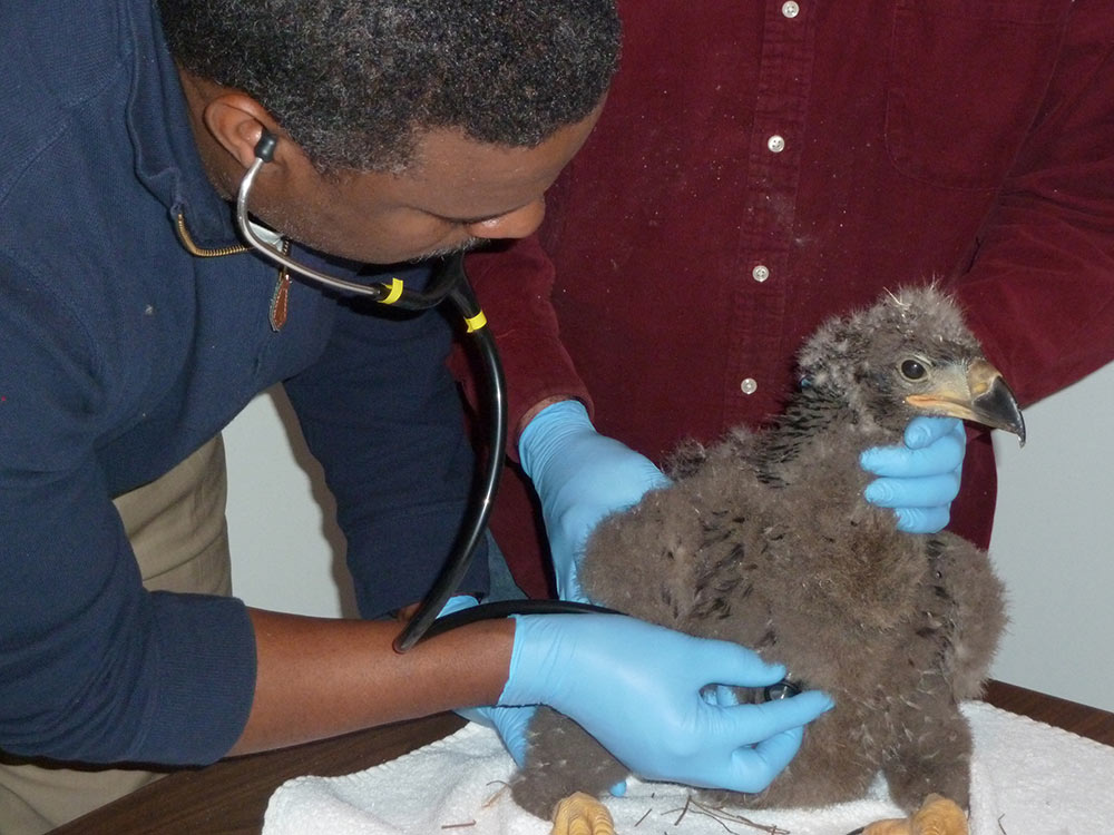 A checkup for a young eaglet.