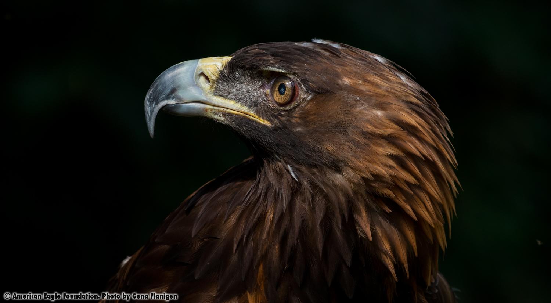 Golden Eagle 'Victory'