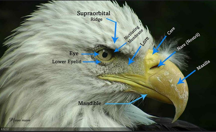 Bald Eagle Biology – American Eagle Foundation on eagle food chain diagram, eagle anatomy diagram, bald head coloring page, grizzly bear diagram, common snapping turtle diagram, eagle skeleton diagram, gray squirrel diagram, eagle life cycle diagram, bald eagel, bird diagram, african wild dog diagram, haast's eagle diagram, wolf diagram, polar bear diagram, black eagle diagram, golden eagle diagram, raccoon diagram, chipmunk diagram, ruby-throated hummingbird diagram, owl diagram,