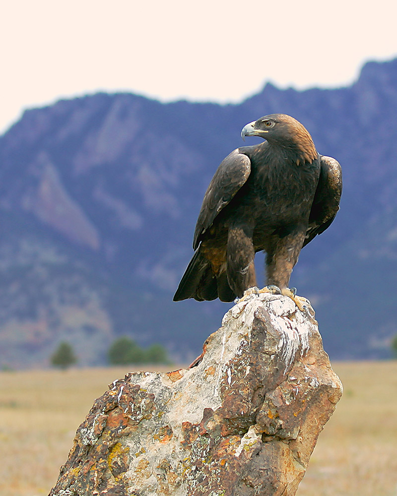 A Golden Eagle surveys his world atop a rock in Boulder, CO.