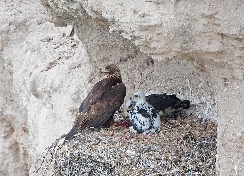 https://www.eagles.org/wp-content/uploads/2016/01/mom-eagle-and-eaglets-pawnee-800.jpg