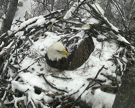 """Mr. President"" & ""The First Lady"" Have Laid Eggs! Watch LIVE in High Definition at EAGLES.ORG"