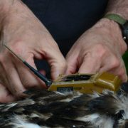 Bryan Watts adjusts the harness used to attach a solar-powered transmitter to a bald eagle