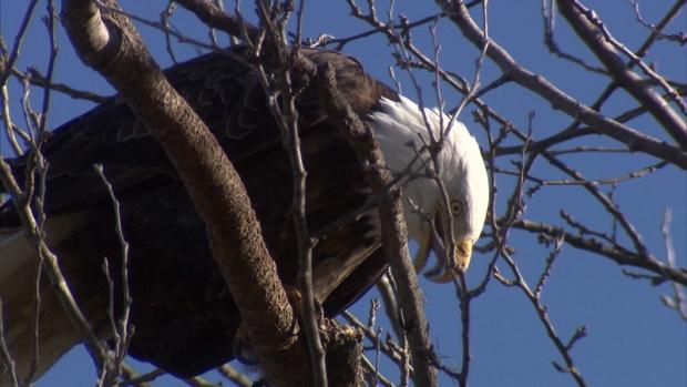 Vancouver eagle