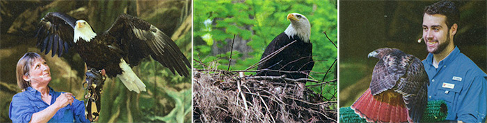 Karen Wilbur, Brad Skinner, non-releasable nesting eagle - Tenn Magazine 2017 June issue