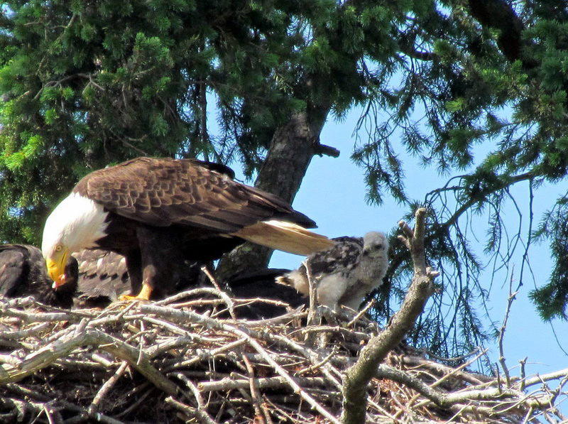 Red Tailed Baby Hawk Raised In Eagles Nest American Eagle Foundation